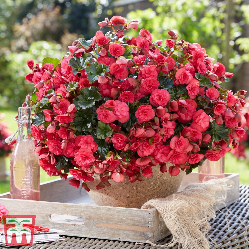 Image of Begonia 'Vermillion Hot Pink'
