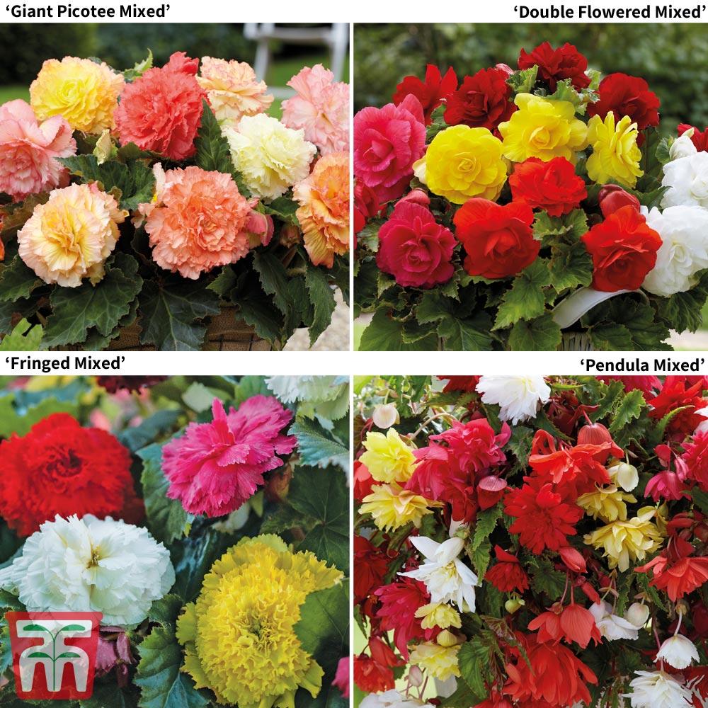 Image of Begonia Bumper Pack
