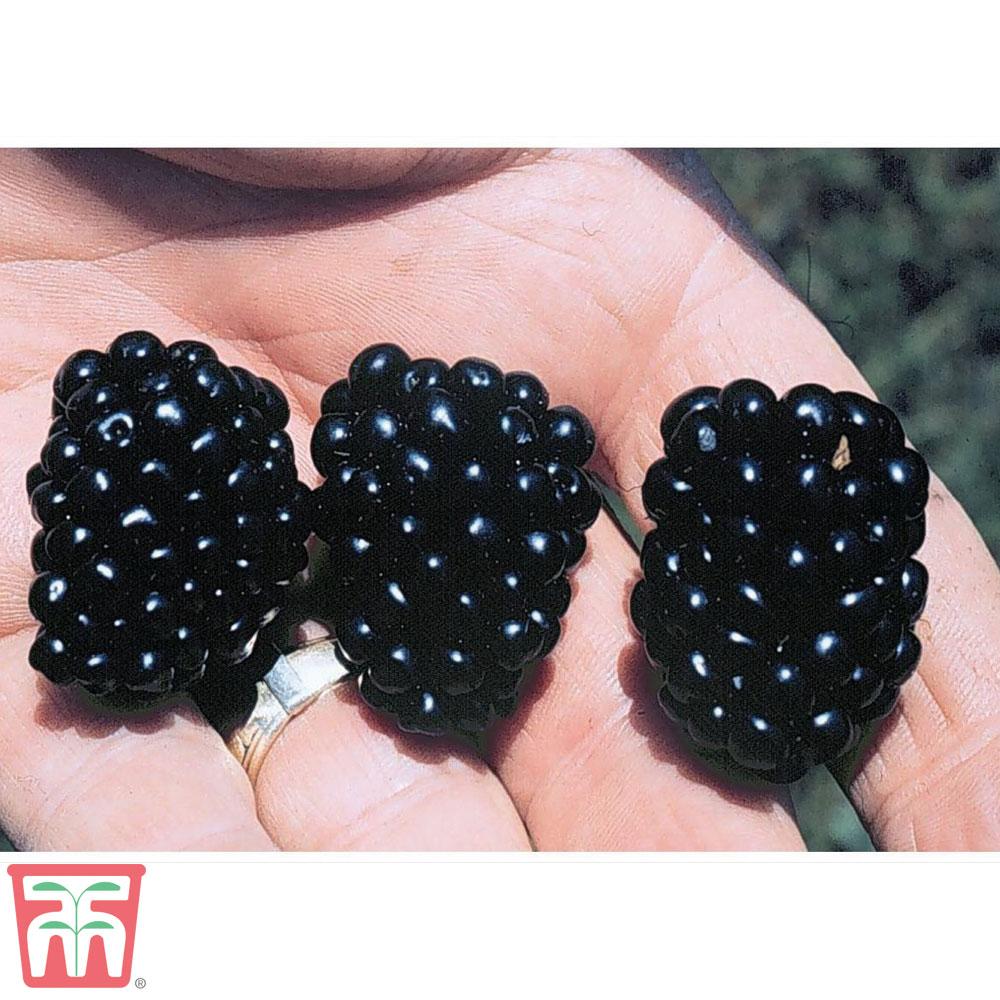 Image of Blackberry 'Apache'