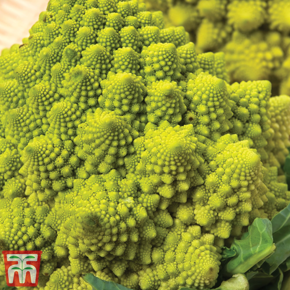 Image of Cauliflower Romanesco Continuity Collection