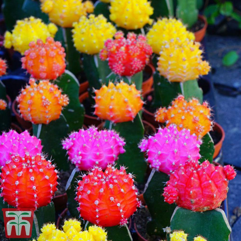 Image of Coloured Cactus Mix (House Plant)