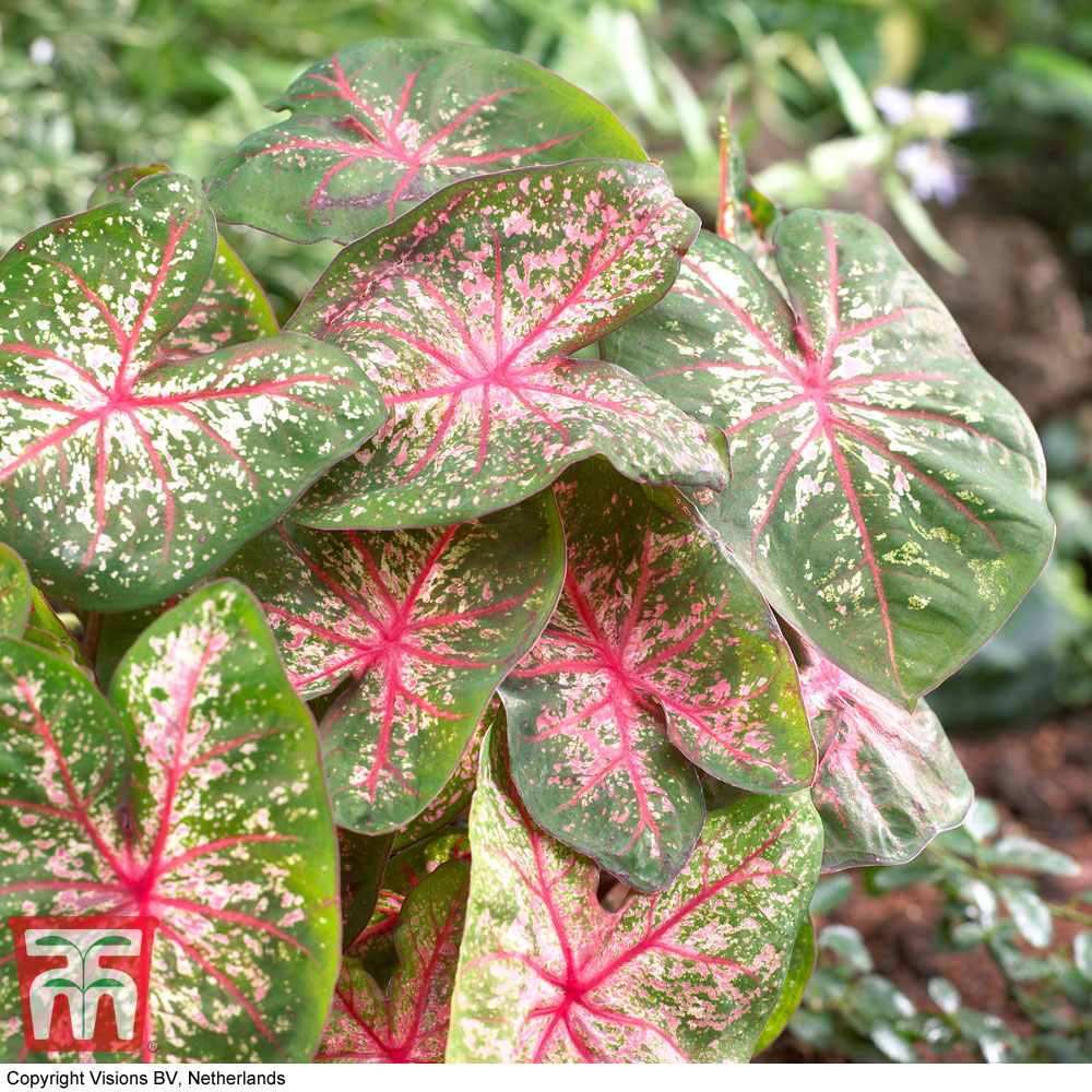 Image of Caladium 'Pink Beauty'