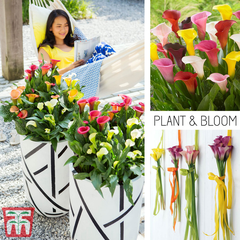 Image of Calla Lily 'Multimix Collection'