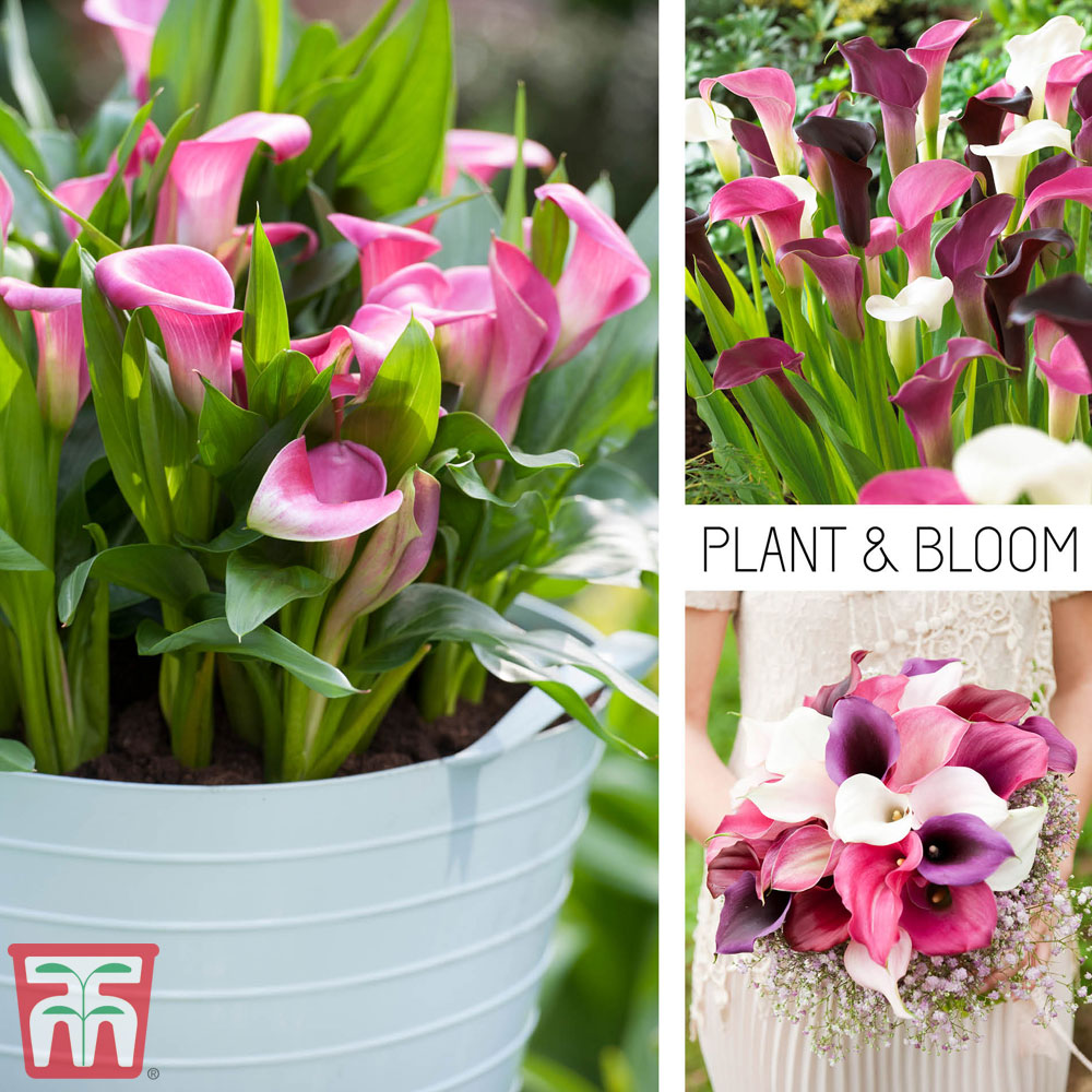 Image of Calla Lily 'Pink Profusion Collection'