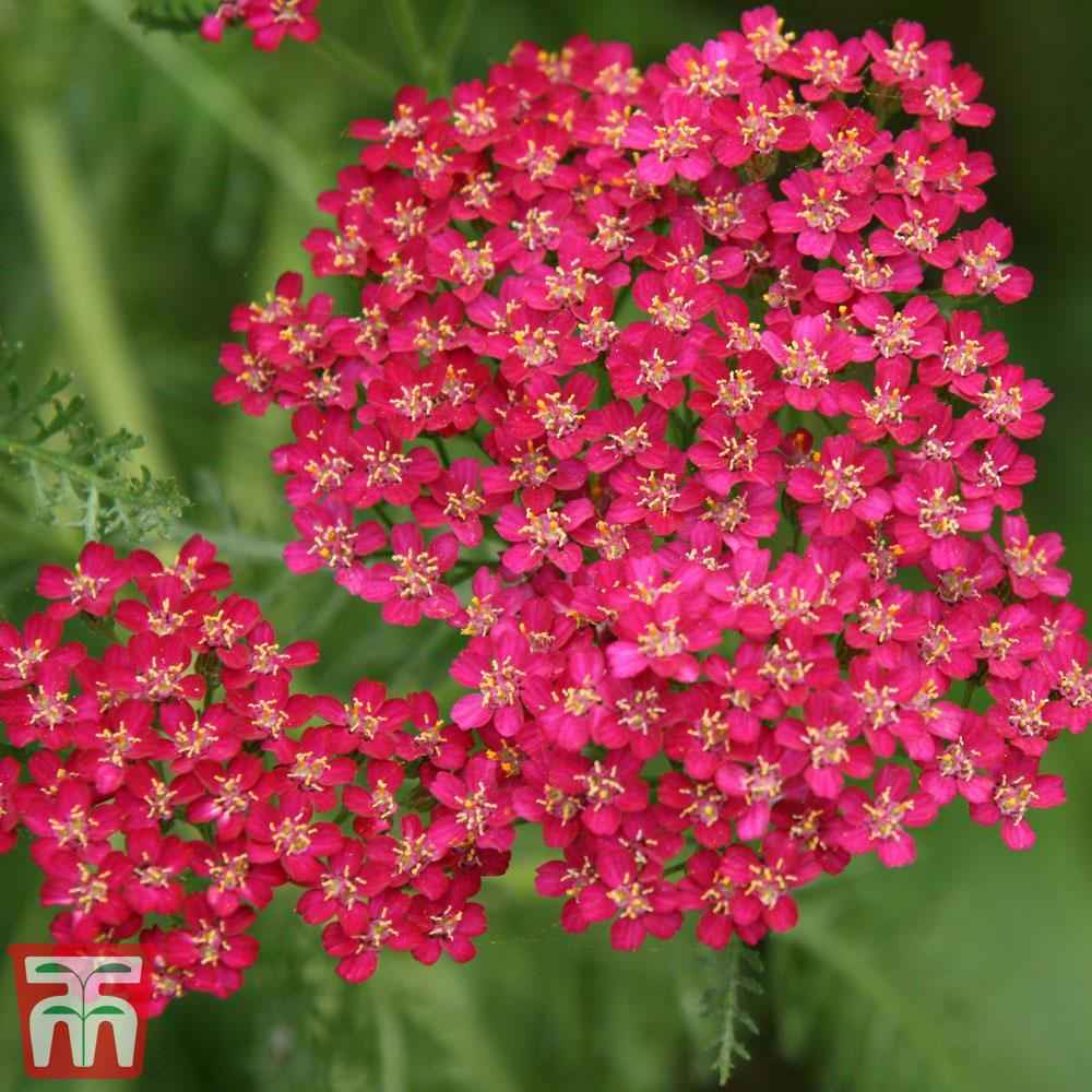 Image of Achillea millefolium 'Cerise Queen'