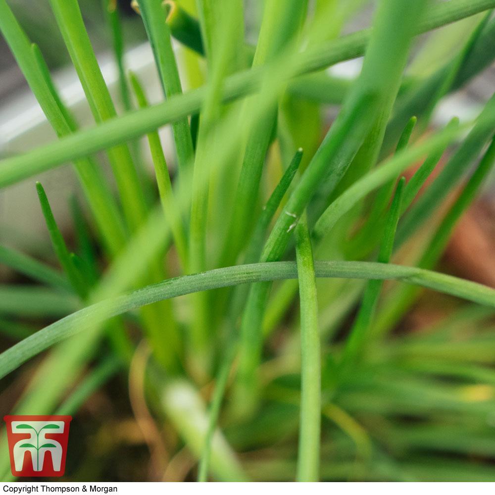 Image of Chives 'Allium Prado'