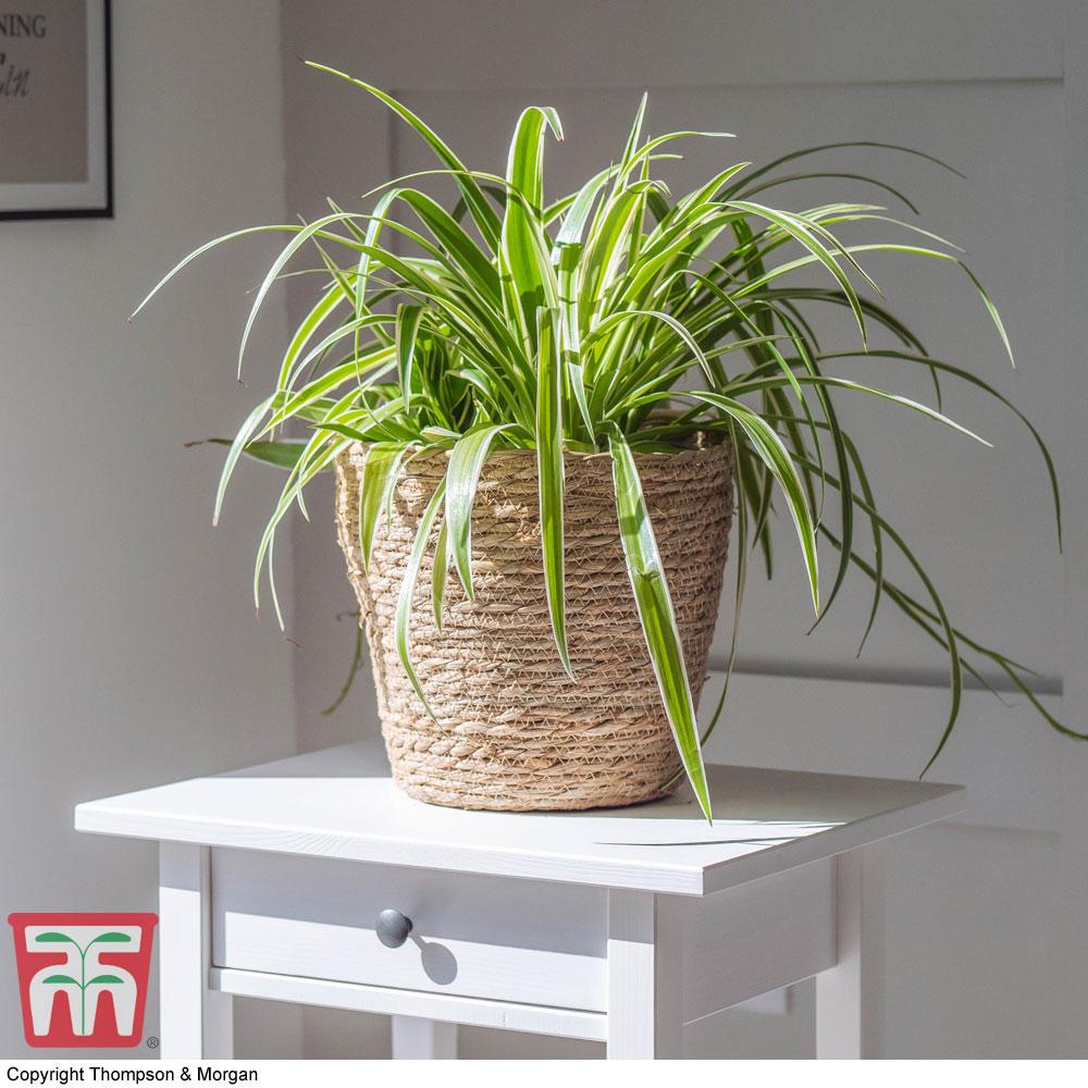 Image of Chlorophytum comosum 'Variegatum' (House Plant)