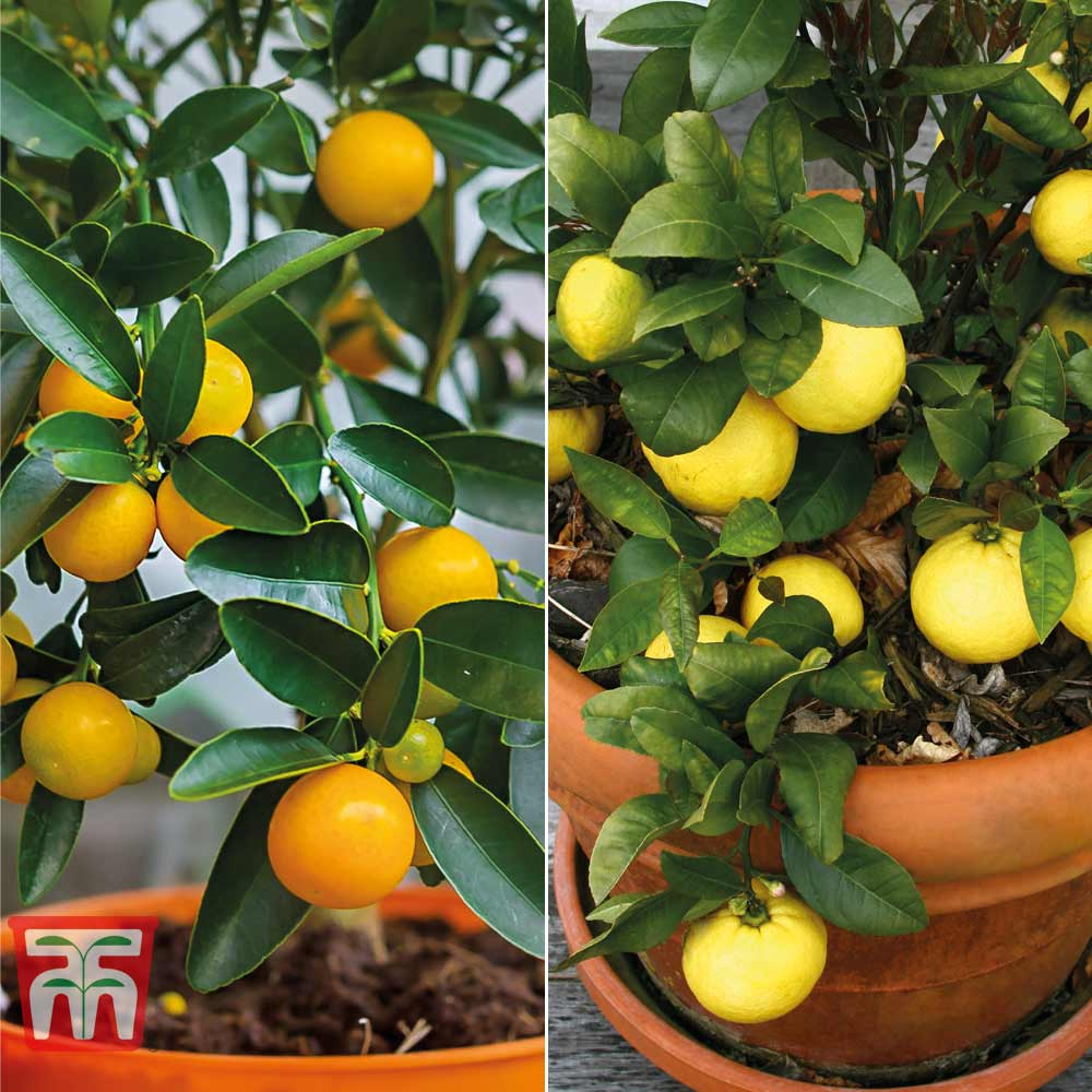 Image of Citrus Tree Collection