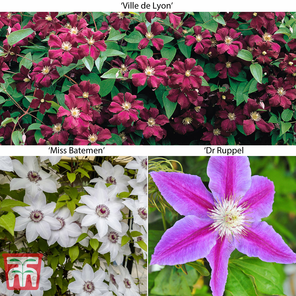 Image of Large Flowered Clematis Collection