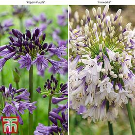 Agapanthus Duo Fireworks & Poppin Purple
