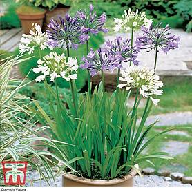 agapanthus blue  white collection