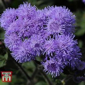 ageratum high tide