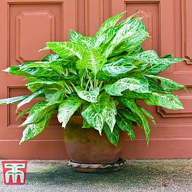 aglaonema christina house plant
