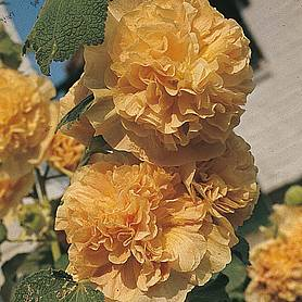 hollyhock chaters double apricot