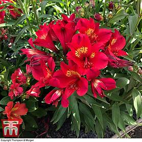 alstroemeria summer red