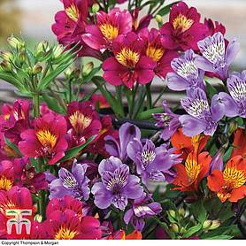 alstroemeria new tree everest mix
