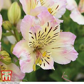 Alstroemeria 'Times Valley' (Summer Paradise Series)