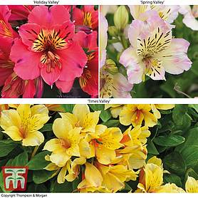 alstroemeria valley collection summer paradise series