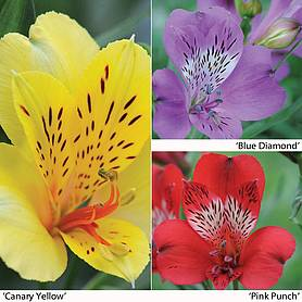 alstroemeria everest collection