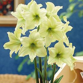 amaryllis lemon star