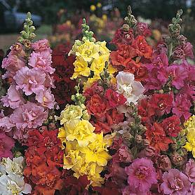 antirrhinum majus double madame butterfly mixed f hybrid