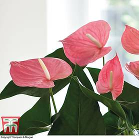 flamingo flower pink