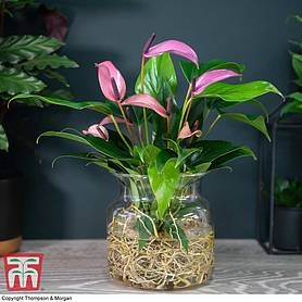 Anthurium Aqua in Sierglass (House Plant)