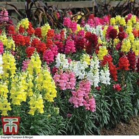 antirrhinum candy canes mixed