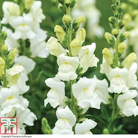 antirrhinum majus royal bride
