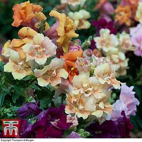 antirrhinum mini butterflies mixed