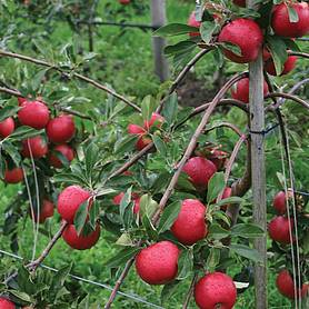 apple red falstaff