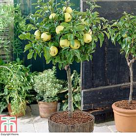 apple golden delicious mini fruit tree