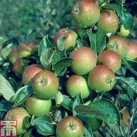 apple cox self fertile