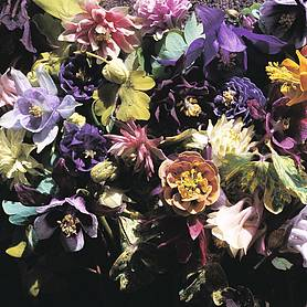 aquilegia x hybrida crown jewels mixed