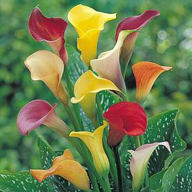 arum lily spectrum mixed