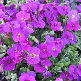 aubrieta axcent deep purple