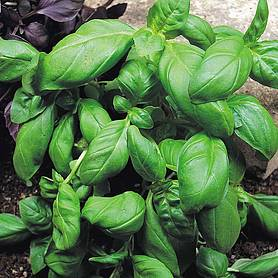 Basil 'Sweet Green' (Start-A-Garden™ Range)