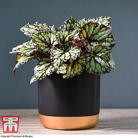 Begonia rex 'King's Spirit' (House plant)