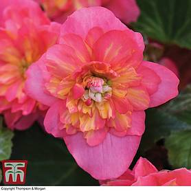 begonia sweet spice bounty coral