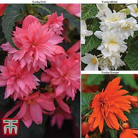 begonia funky collection