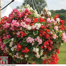 begonia semperflorens lotto mixed
