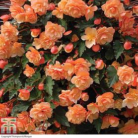 begonia fragrant falls improvedtrade  apricot delight