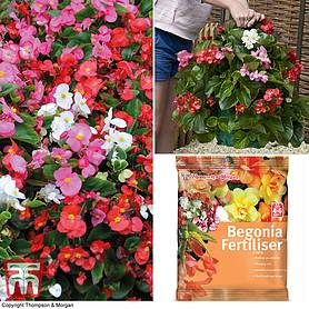 begonia organdy mixed f hybrid patio bag collection