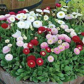 Bellis 'Bellisima Mixed'