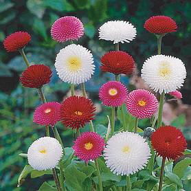 bellis bellisima mixed