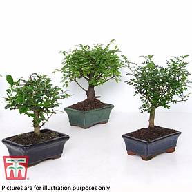 bonsai carmona microphylla house plant