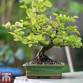 bonsai zelkova house plant