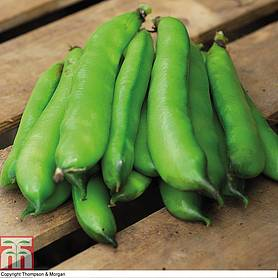 broad bean perla