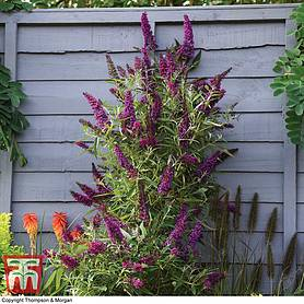 buddleja butterfly towers