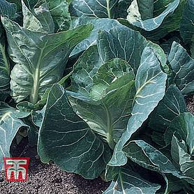 cabbage advantage f hybrid spring